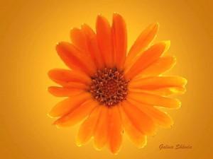 Желтый цветок на сайт